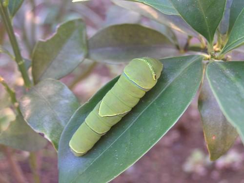 アゲハの幼虫-2