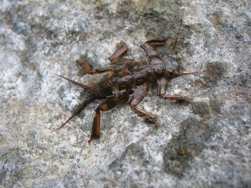 カワゲラの幼虫
