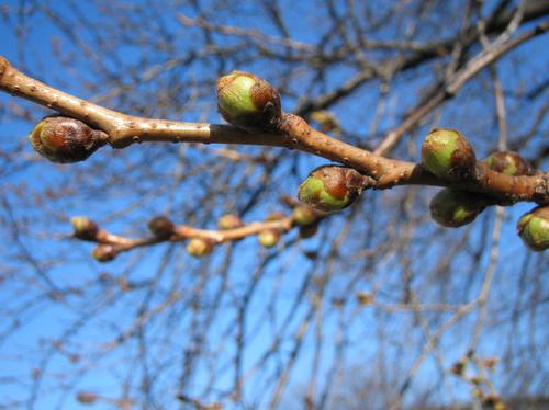 ソメイヨシノの花芽