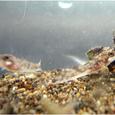 カジカ(稚魚)